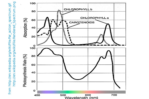 Кривые зависимости интенсивности фотосинтеза растений от длины волны света